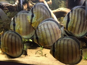 discus tarzoo royal spotted