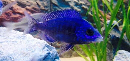 Placidochromis phenochilus-Mdoka White Lips