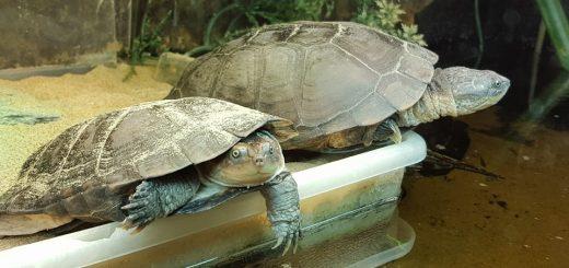 pelomedusa subrufa schildpadden Afrikaanse moerasschildpadden